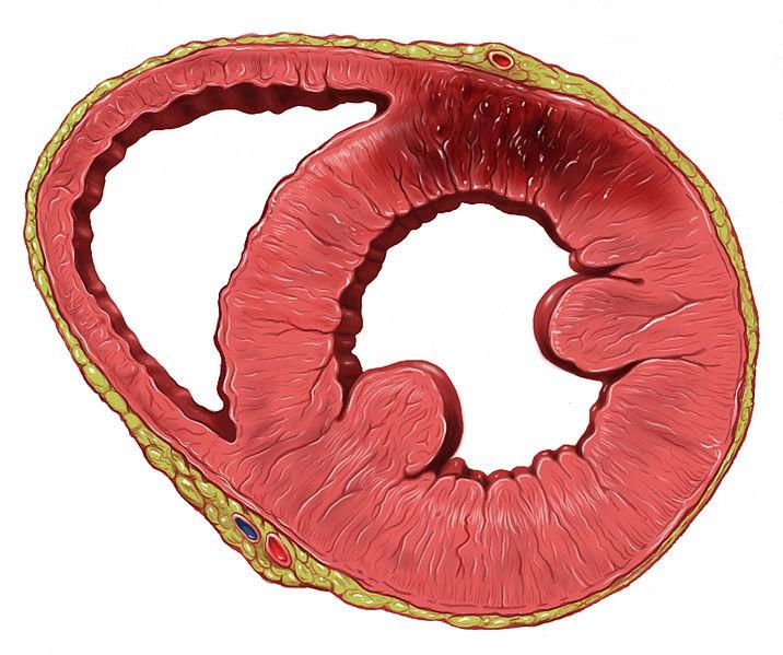 Un gel per rigenerale le cellule cardiache, dal Politecnico di Torino una ricerca rivoluzionaria