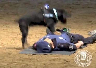 Madrid, cane poliziotto addestrato al massaggio cardiaco