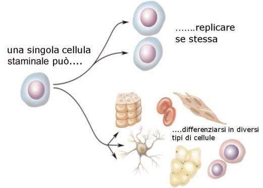 Digiuno e cellule staminali: connubio di lunga vita