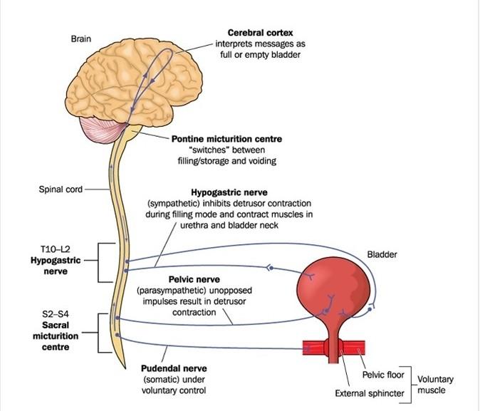Infermiere specialista. Vescica neurologica: cause, diagnosi e sintomatologia