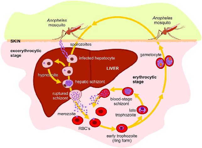 Malaria e nuovo farmaco: approvata la Tafenochina 1
