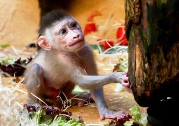 Cina, lo studio del cervello spinto al limite: create scimmie ibride con geni umani