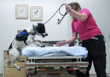 Angus, il cane in grado di fiutare il Clostrid. difficile in ospedale 2