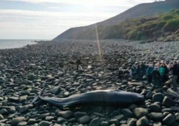 Galles, la triste storia del capodoglio spiaggiato: troppa plastica nello stomaco