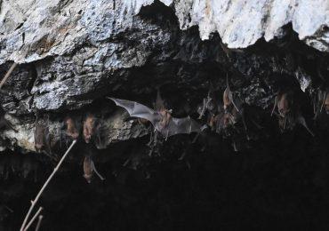 Covid-19, a caccia di pipistrelli per scoprire l'origine del virus