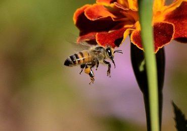 Cancro al seno: nuova cura dal veleno delle api