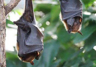 Francia, uomo morso da un pipistrello: muore di enfalite