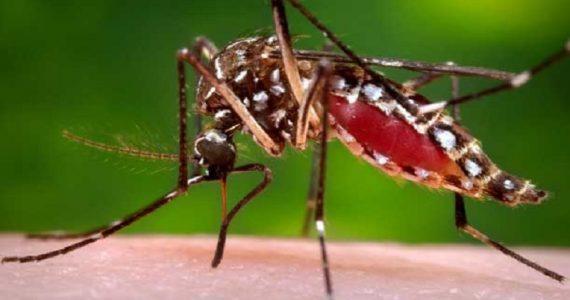 Usa, rilasciate zanzare geneticamente modificate per sopprimere la specie Aedes aegypti