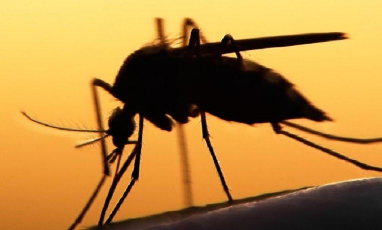 Malaria, perfezionate le zanzare geneticamente modificate: passo avanti nella lotta alla malattia