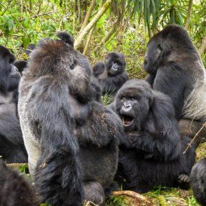 Covid-19: contagiati 13 gorilla dello zoo di Atlanta. Non erano stati vaccinati