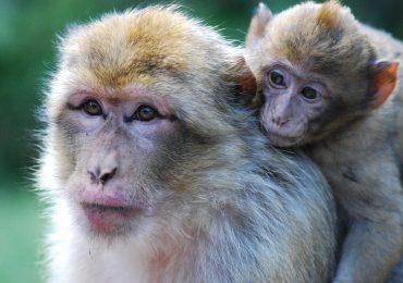 Nelle scimmie un gene che intrappola virus come Hiv ed Ebola