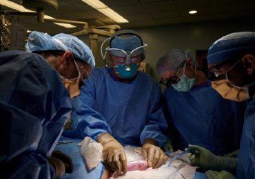 New York, rene di maiale trapiantato per la prima volta su un essere umano